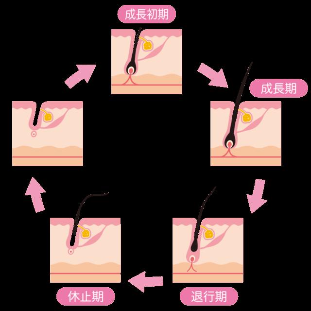 脱毛毛周期についてのサイクルイラスト説明
